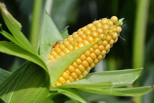 Полезные и питательные свойства кукурузы