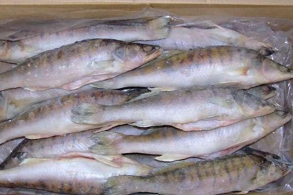 Как приготовить заливное из судака